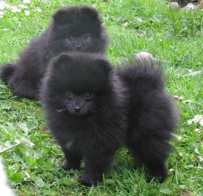 Small Pomeranian Dogs For Sale
